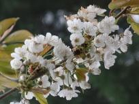 Kirscheblüte