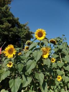 So schöne Sonnenblumen sorgen für gute Laune.