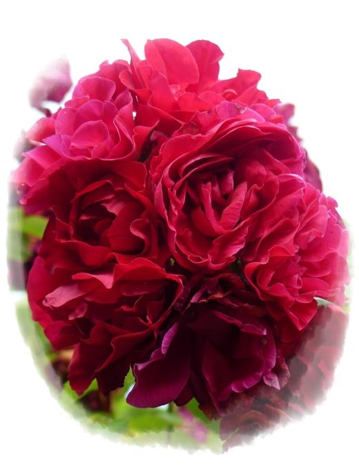 Rote rose 3