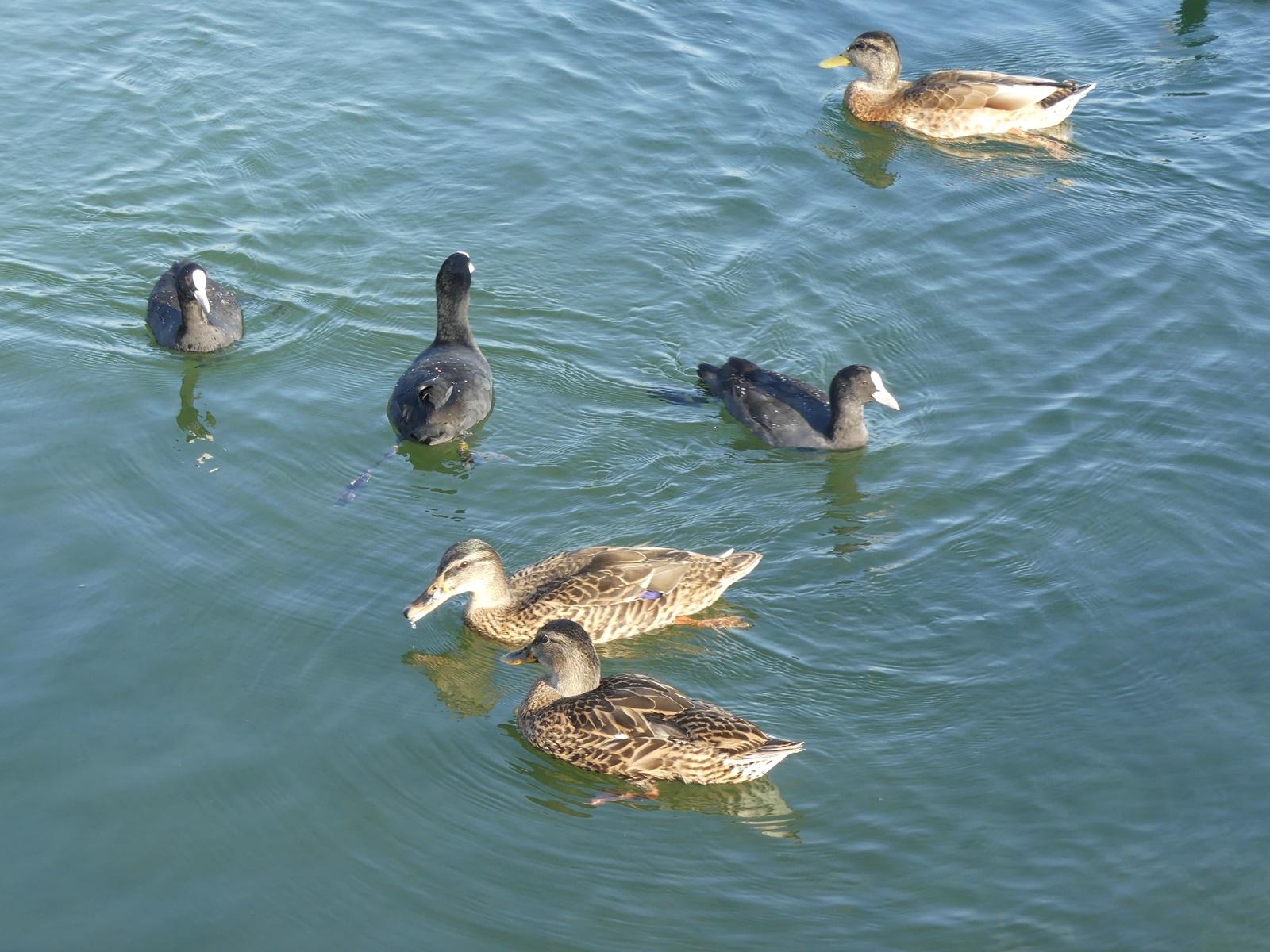 Enten und Blesshühner