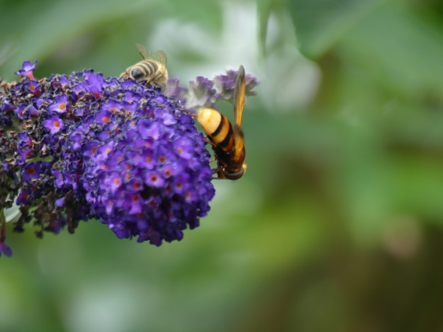 Schmetterlingsstrauch 3