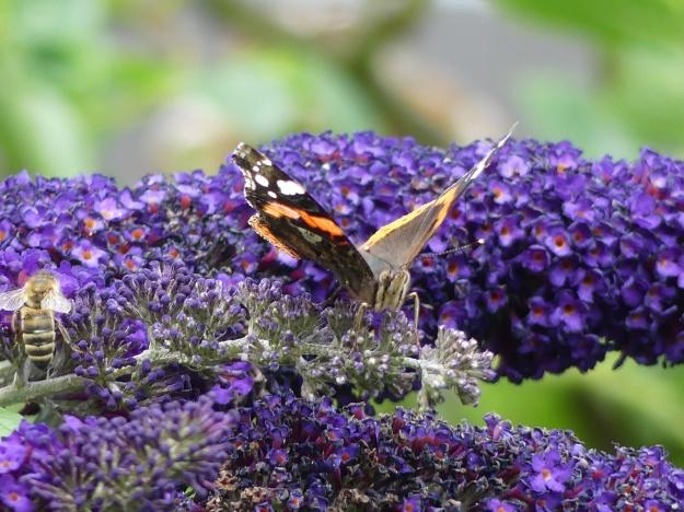 Schmetterlingsstrauch 4
