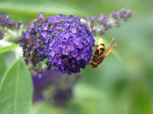Schmetterlingsstrauch 6